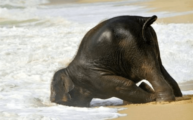 There's no such thing as a drunken elephant