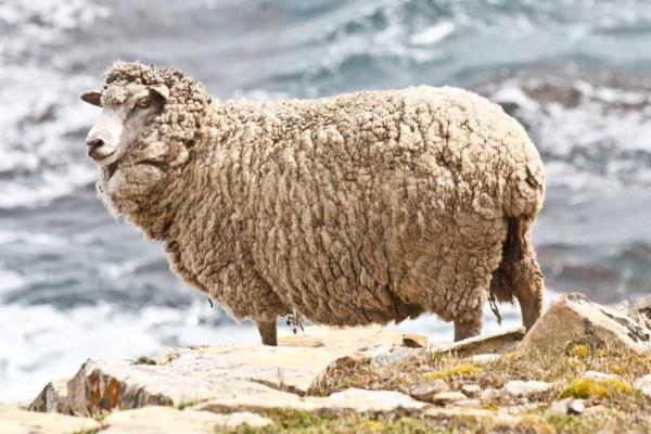 Falkland Islands, UK, the place where there are 350 sheep per person