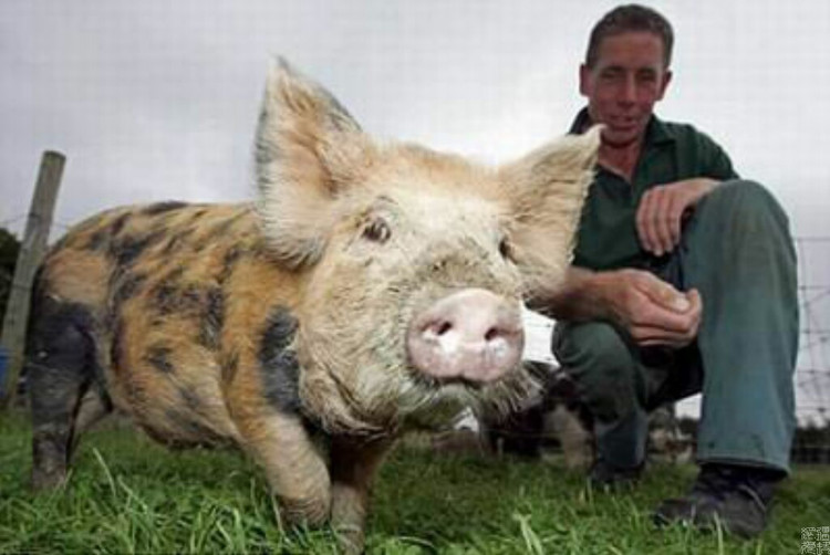 Pig Swallows Diamond from a Wedding Ring
