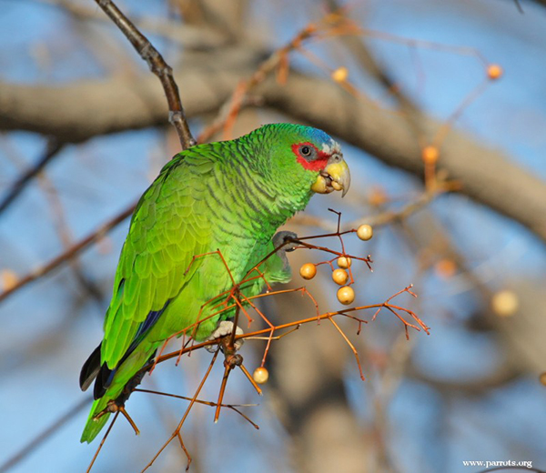 White Fronted Parrots Show Affection By Throwing Up Down their Mates Throat