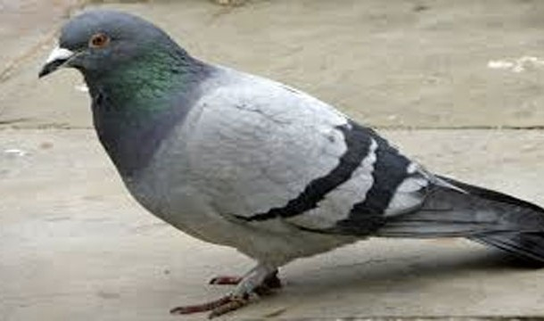 Pigeon Cipher