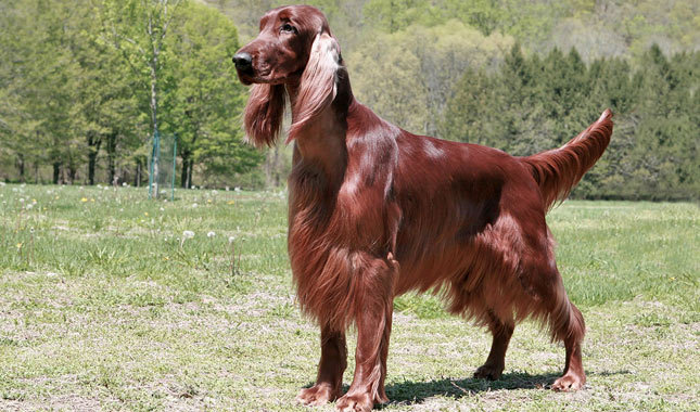 Irish setters for libra