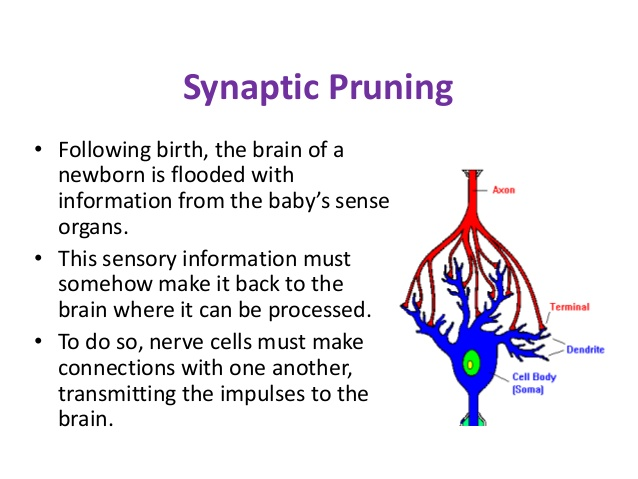 What is synaptic pruning?