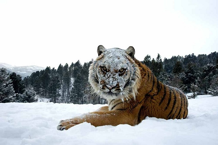 Siberian Tiger in Snow.Jonathan Griffiths