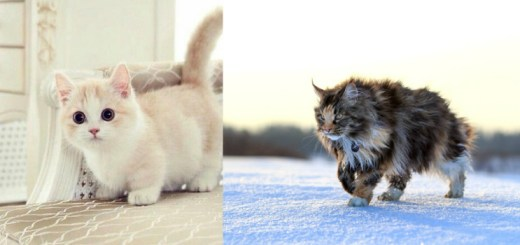 These cat breeds are so cute that your heart will melt!