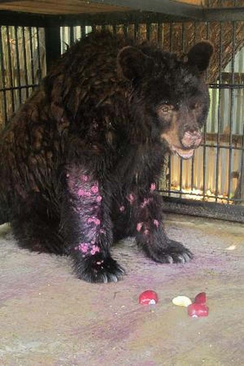 Have You Ever Seen A Bear In Such A Pitiful Depressed State?