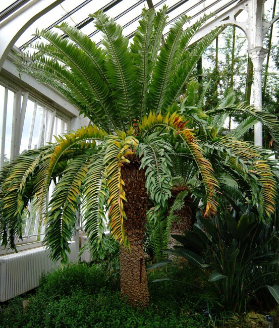 Cycad Trees In The World