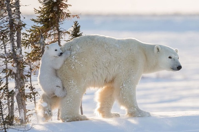 Polar bear and baby, Daisy Gilardini