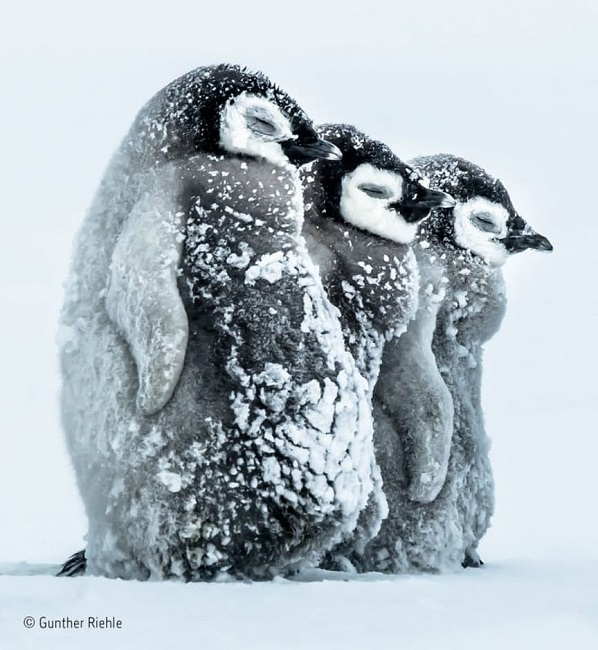 Sleepy Penguins by Gunther Riele