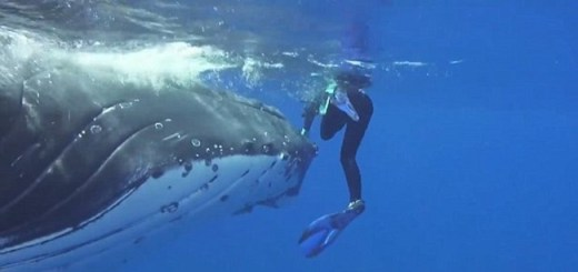 Hero Humpback Whale Saves Marine Biologist Diver From 20 Foot Long Tiger Shark