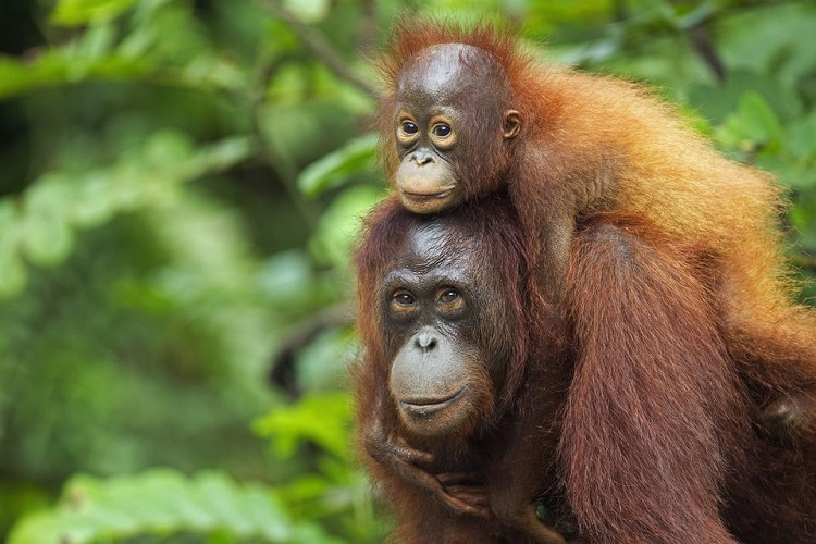 Orangutans are only able to give birth after every 8 years