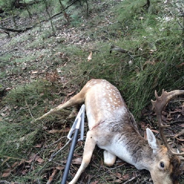 Wounded deer