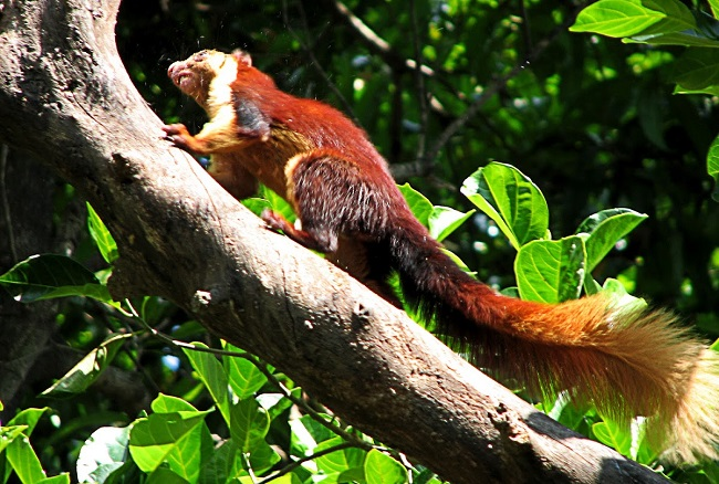 Indian giant squirrels engage in breeding