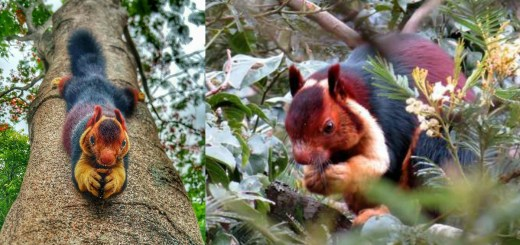 Meet These Beautiful Multicolored Giant Squirrels, They Are Too Awesome To Believe They Are Real