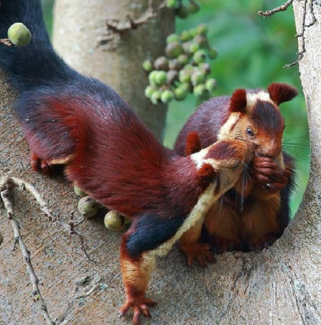 The Malabar giant squirrels