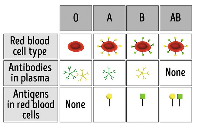 How are blood types determined