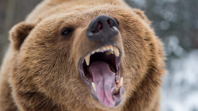 Brown bear roaring in forest
