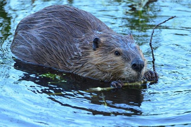 Beavers rescued an orphaned boy