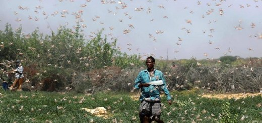 Second Wave Of Locusts Swarms Of Biblical Proportions Invade Kenya Unlike The Country Has Ever Seen, Thousands To Starve.