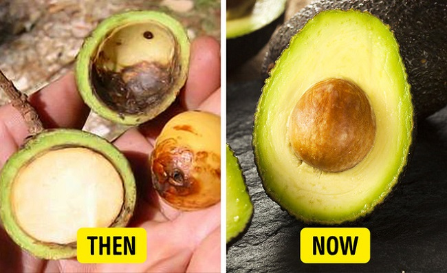 Avocados used to be smaller with larger pits