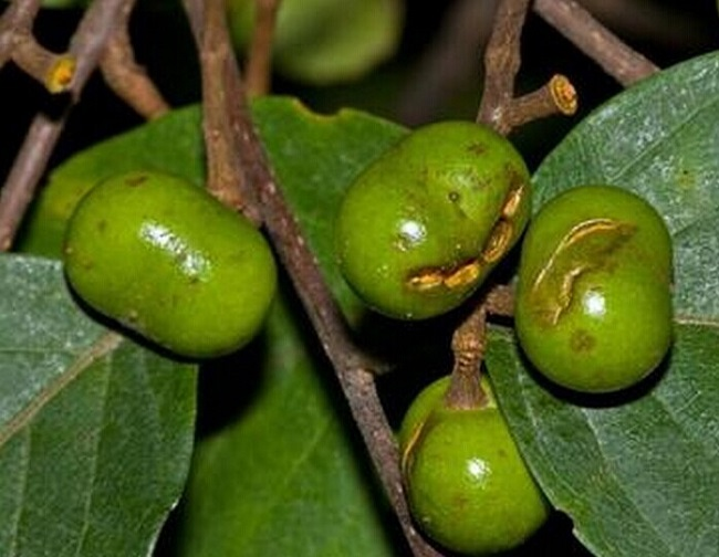Pygeum (African plum extract