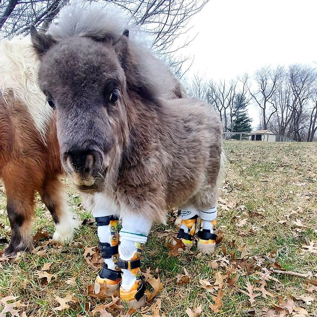 This adorable dwarf pony
