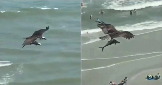 Video of Huge Bird of Prey Flying Off with Large Shark Like Fish Drives the Internet Insane