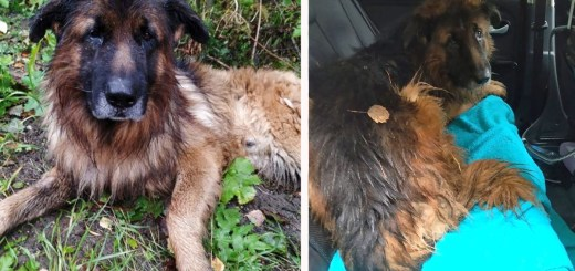 German Shepherd Digs Himself Out Of Grave After Cruel Owners Buried Him Alive
