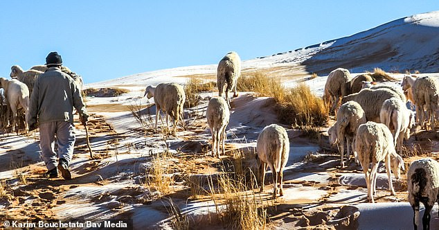 Sheep standing on ice-covered dunes in the Algerian Sahara