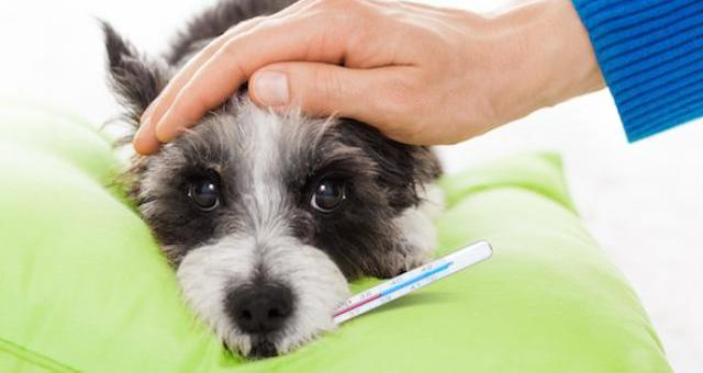 Significant Symptoms of Fever in Dogs and How to Treat Them At Home