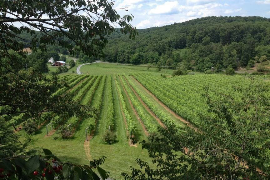 Acres of wine grapes at Cave Ridge Vineyard