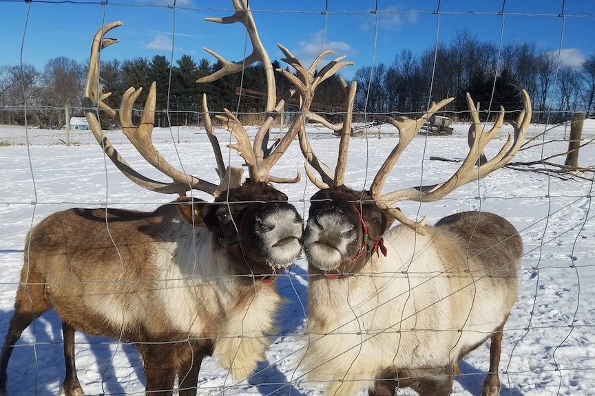 two friendly reindeer poking their snouts out of a wire fence