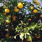 京都 水尾 柚子の里でくつろぎの穴場観光