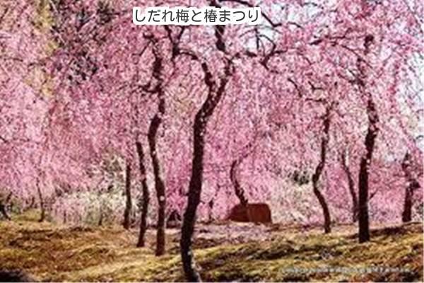京都 城南宮のしだれ梅と椿まつり2018年