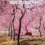 京都 城南宮のしだれ梅と椿まつり