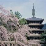 醍醐寺の桜開花