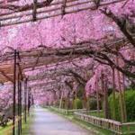 桜のトンネル 半木の道 隠れた桜名所