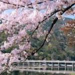 嵐山桜の見どころ 中之島公園~桜トンネル