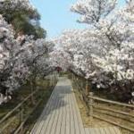 遅咲きの御室桜 仁和寺