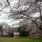 二条城 さくら舞う観桜茶会