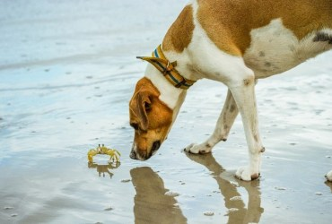 dogs eat crab