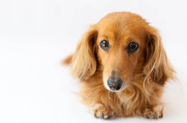 【子犬工場】超過密状態で400匹飼育:福井県坂井市