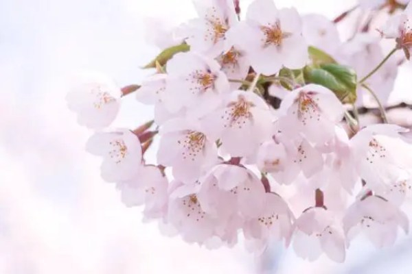 桜の開花予想情報
