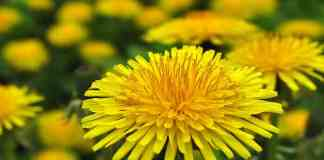 benefits-of-dandelion