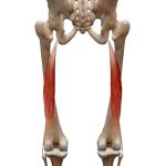 Двуглавая мышца