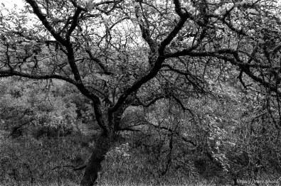 Tree near Angels Camp.