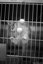 Cat in its cage at the Humane Society for story on pet euthanasia.
