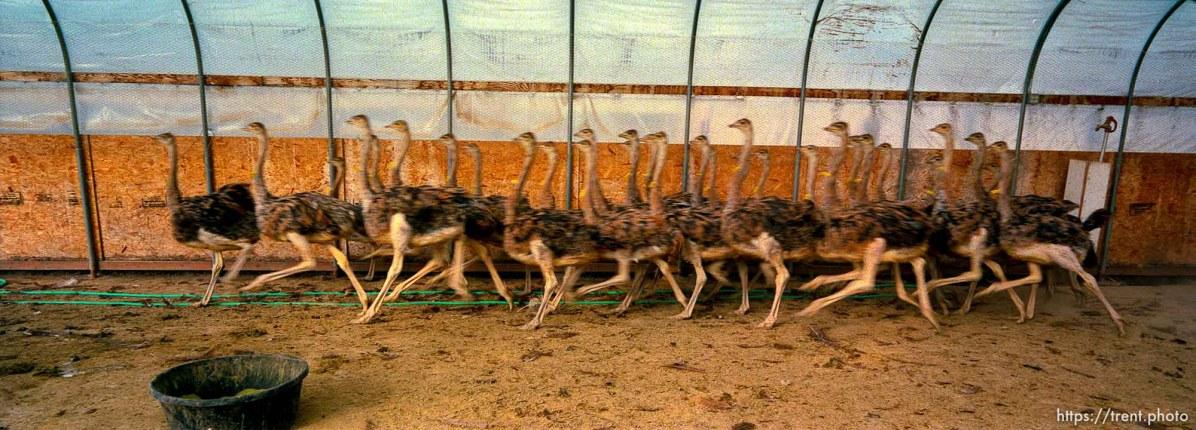 Startled ostrich chicks, 3-4 months old, race past me at the Big O Ranch, Ogden.