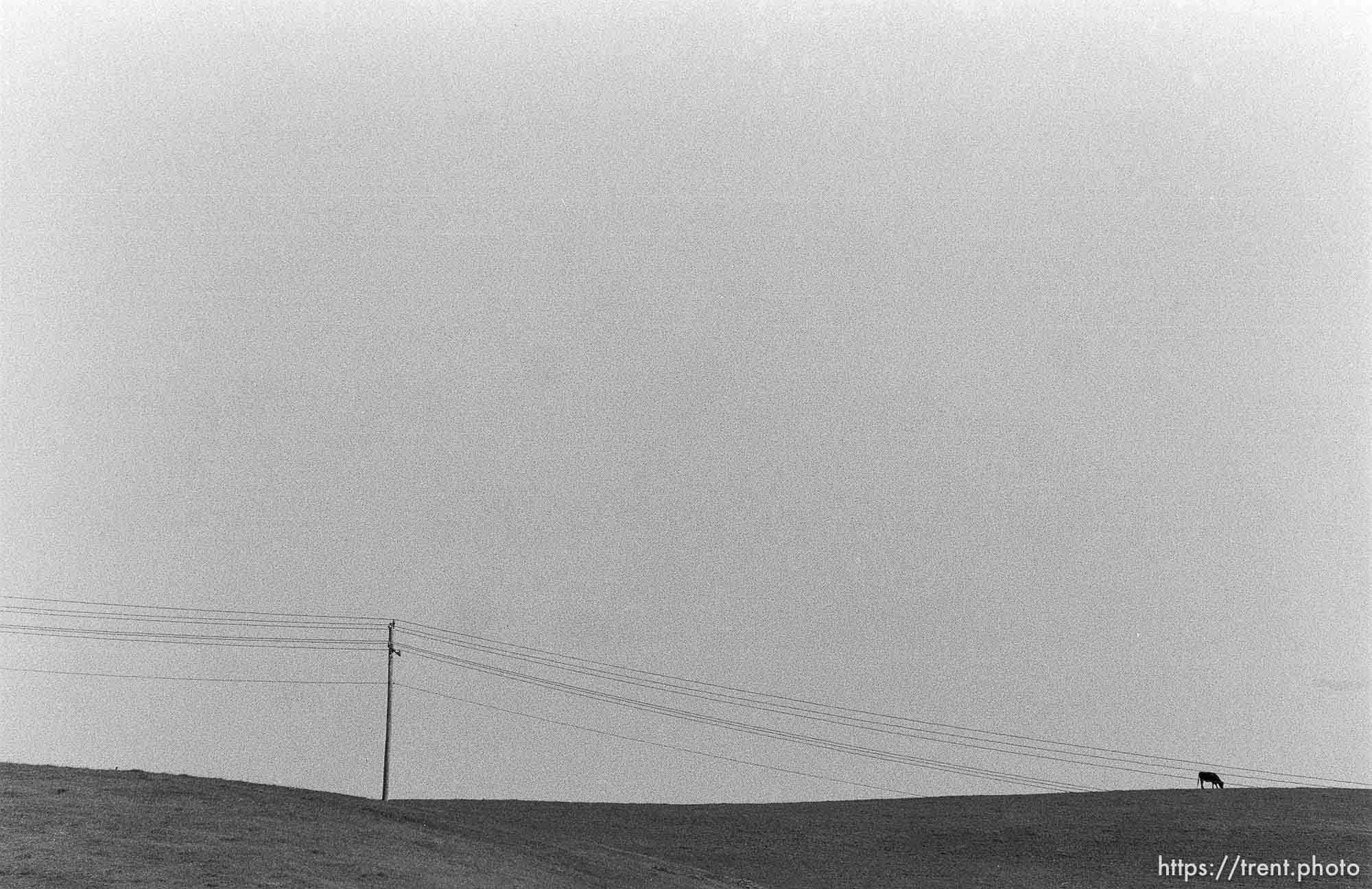 Powerlines, hill, cow