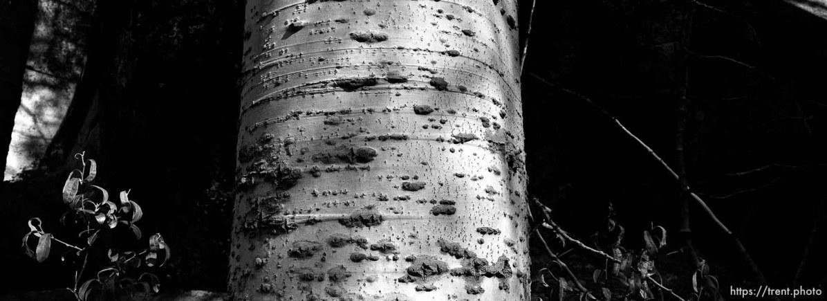Aspen tree at Sword Lake